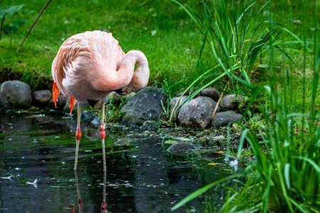 American flamingo wading in a pond. Calgary Zoo, Calgary, Alberta, Canada