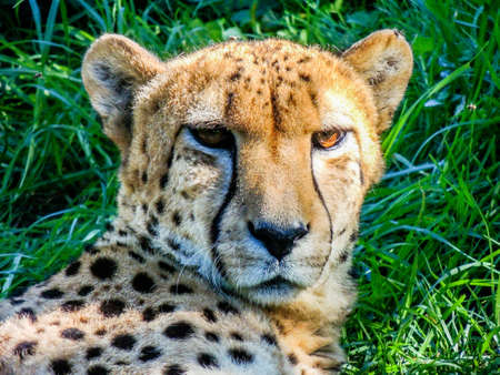 Cheetahs rest in the grass and on platforms. Auckland Zoo, Auckland, New Zealand Banque d'images