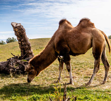 Bactrian camels looking for food. Discovery Wildlife Park, Innisfill, Alberta, Canada Banco de Imagens