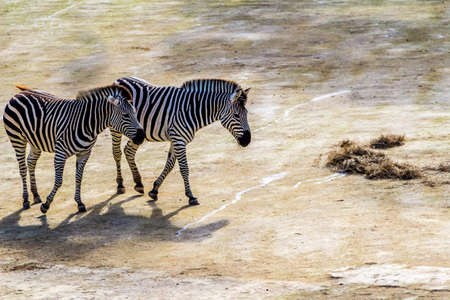 Zebras move around their compound and grab snacks. Auckland Zoo, Auckland, New Zealand