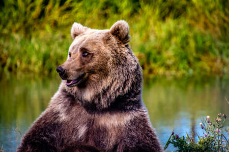 Grizzly bear sitting by a pond. Discovery Wildlife Park, Innisfill, Alberta, Canada