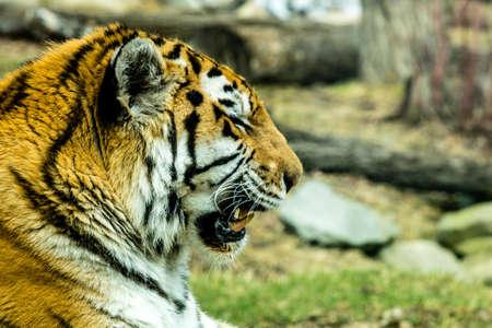 Siberian (Amur) tiger looks over his territory while rssting on a rock. Calgary Zoo, Calgary, Alberta, Canada