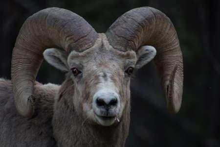 Rocky mountain sheep portraits. Banff National Park, Alberta, Canada