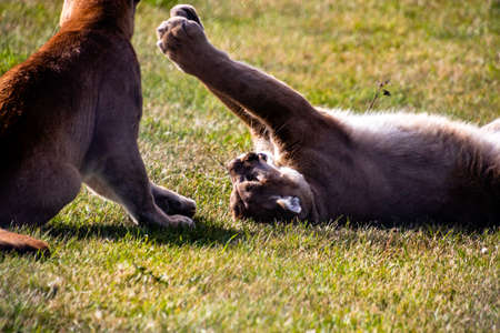 Cougar juvenils at play. Discovery Wildlife Park, Innisfill, Alberta, Canada Banco de Imagens