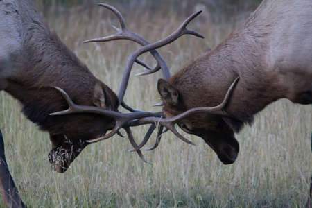Bull elk praxctice sparing in the late fall. Banff National Park. Alberta Caanda