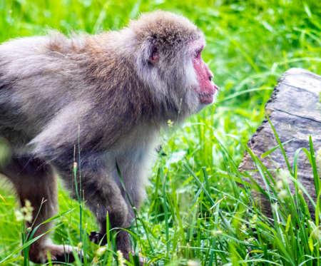 Elder Japanese Macaque roaming his territory. Calgary Zoo, Calgary, Alberta, Canada