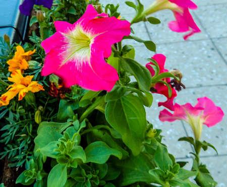 Beautiful colourful garden flowers. Ranui, Auckland, New Zealand