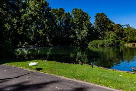 Ducks, birds, swans and geese frolic in and around the pond. Western Springs Duck Pond, Auckland, New Zealand