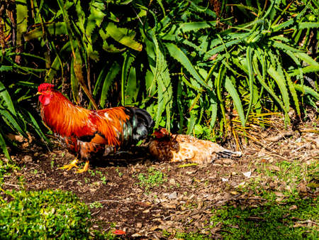 Roosters and chickens run wild around the ponds. Western Springs Pond. Auckland, New Zealand