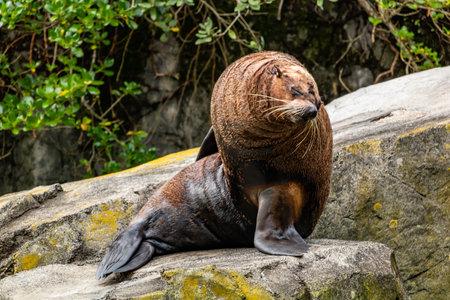 New Zeland fur seal sunning on a rock. Auckland Zoo, Auckland, New Zealand