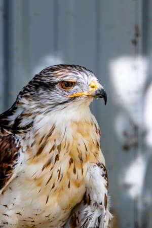 Ferruginous Hawk on it's perch. Birds of Prey Centre, Coledale, Alberta, Canada