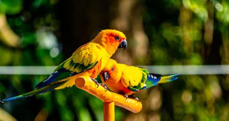 Sun Parakeet pair on a t-perch. Auckland Zoo, Auckland, New Zealand