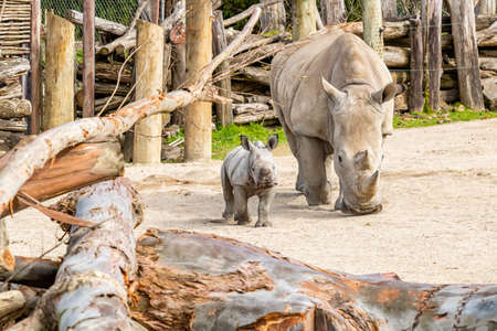 Mother and baby White Rhino. Auckland Zoo, Auckland, New Zealand