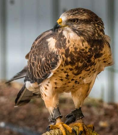 Swainson Hawk looking hungry for prey Birds of Prey Centre Coleman Alberta Canada