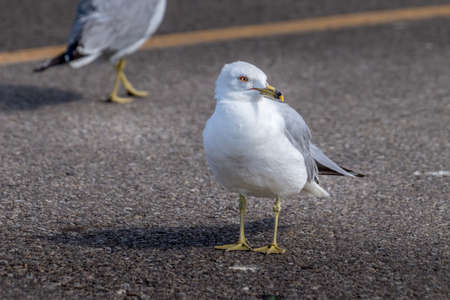 Ring billed gull scoures the parking lot Elk Island National Park Alberta Canada