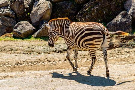 Zebra wondering the compound. Auckland Zoo, Auckland, New Zealand