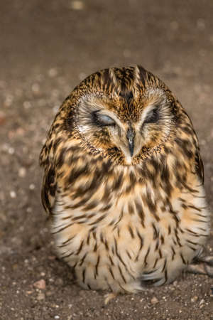 Short Eared Owl trying to stay awake in a ball Birds of Prey Centre