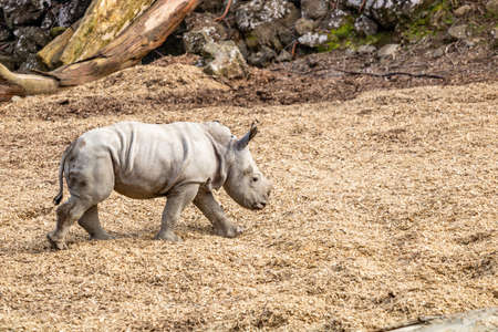 Baby white rhino playing in his yard. Auckland Zoo, Auckland, New Zealand