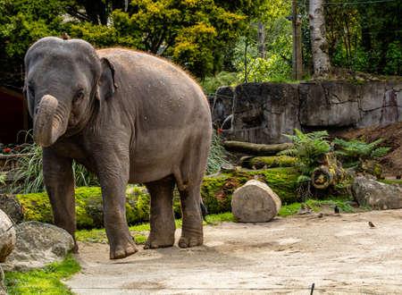 Aisian elephant walking in it's yard. Auckland Zoo, Auckland, New Zealand