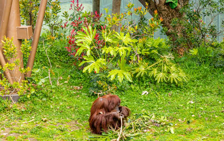 Orangutan munching on some bamboo. Auckland Zoo, Auckland, New Zealand Banque d'images