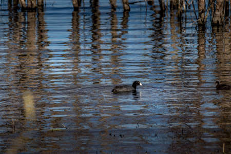 Amercian Coot looking for food in the water Elk Island National Park Alberta Canada