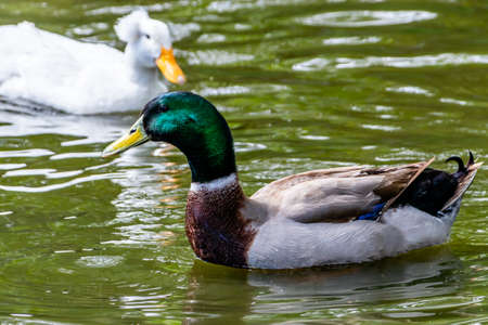 Mallard drake swimming on a pond. Birds of Prey Centre, Coledale, Alberta, Canada Banque d'images
