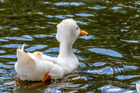 Crested Duck swiming on a pond. Birds of Prey Centre, Coledale, Alberta, Canada