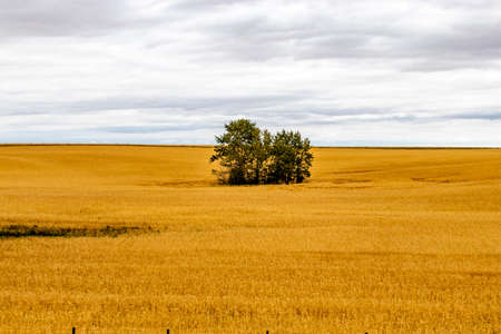 Stand of trees in a wheat field. Kneehill, Alberta, Canada