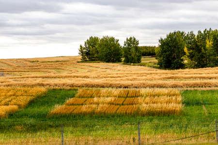 Plowed farmers wheat field. Kneehill, Alberta, Canada