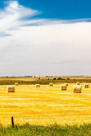Haybales in a wheat field. Lethbridge County, Alberta, Canada