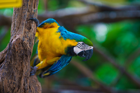 Blue-and-yellow macaw parrot sitting on the branch and looking at camera Stock Photo