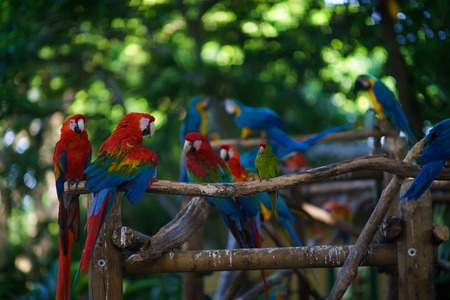a lot of blue-and-yellow macaws and red aras sitting on the branch
