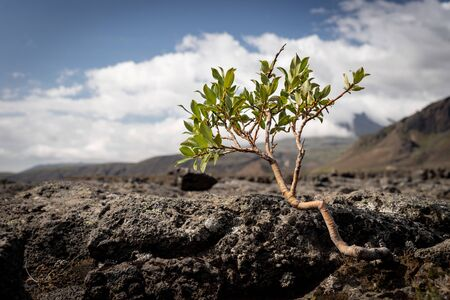 Strong tiny tree on the Volcanic landscape. Iceland, Laugavegur hiking track, concept of desire, willpower and strength. Stock fotó