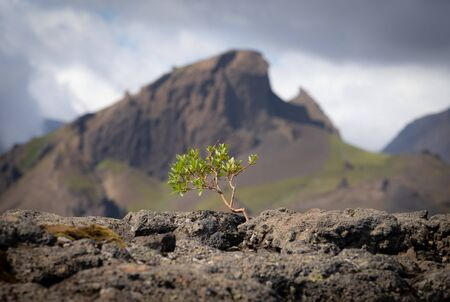 Strong tiny tree on the Volcanic landscape. Iceland, Laugavegur hiking track, concept of desire, willpower and strength. Stock Photo