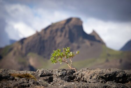 Strong tiny tree on the Volcanic landscape. Iceland, Laugavegur hiking track, concept of desire, willpower and strength.