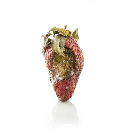 moulder: rotten strawberry with mildew isolated on white Stock Photo