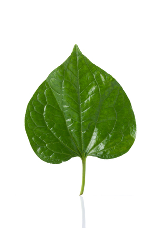 betel leaf: Green betel leaf isolated on the white background.