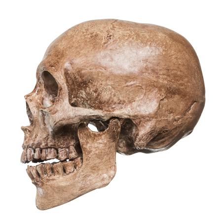 modello di cranio Testa umana isolare su sfondo bianco.