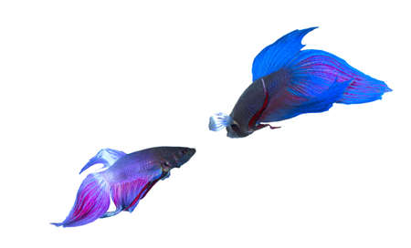 exotic pet: Siamese fighting fish (Betta splendens) isolated on white background. Stock Photo