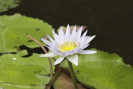 water lilly in the pool and leaf Stock Photo - 12653564