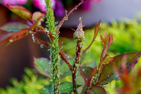 Rose Flower Stem Affected by Aphids