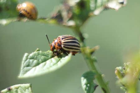 colorado beetle macro