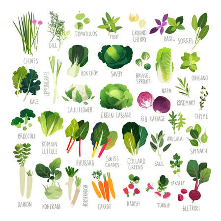 oregano: Big clip art collection with various kind of vegetables and common culinary herbs