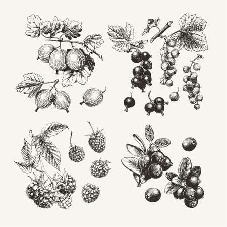 Vintage ink drawn collection of berries such as raspberry, gooseberry and others Ilustração