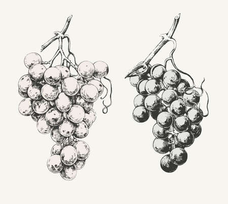 Vintage illustration of two ink drawn vine grapes. Vettoriali