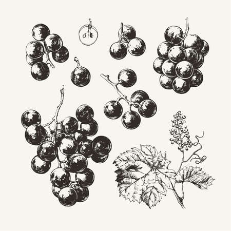 ●ワインブドウ描きのインクのヴィンテージイラスト。  イラスト・ベクター素材