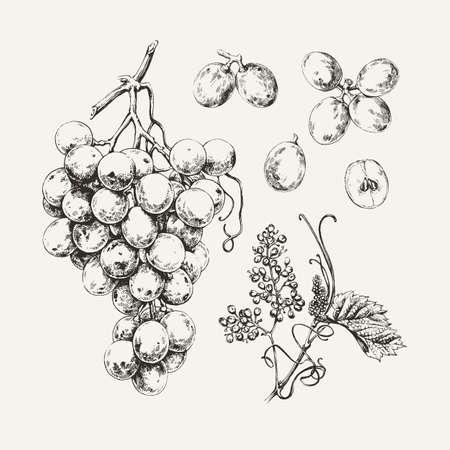 Vintage ilustracja rysowanego atramentem słodkich białych winogron