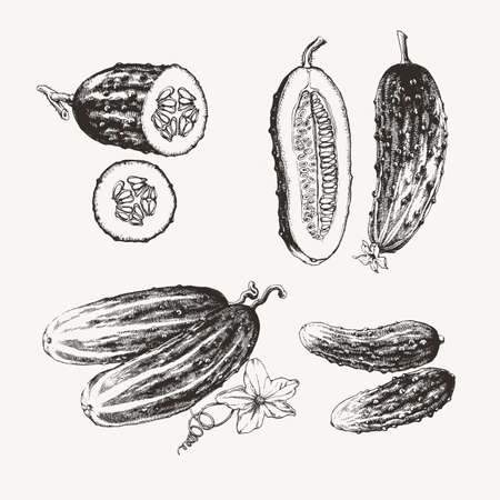 Vintage illustration of ink drawn cucumbers Ilustração