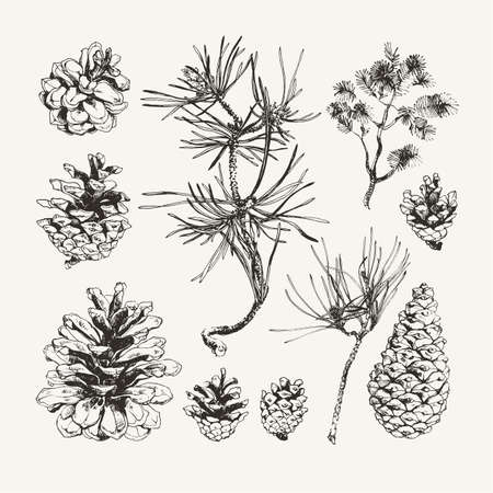 Vintage illustration of ink drawn pine cones. 向量圖像