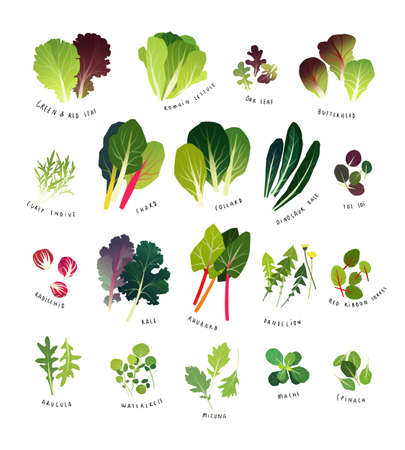 Common leafy greens such as lettuce, curly endive, chards, collards, dinosaur kale, tat soi, radicchio, curly kale, rhubarb, dandelion, sorrel, arugula, watercress, mizuna, mache and spinach Illustration